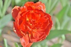 Close-up de uma tulipa ex?tica vermelha em um dia ensolarado em um jardim imagens de stock royalty free