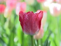 Close-up de uma tulipa roxa vermelha clara contra o fundo verde em um dia de mola ensolarado foto de stock