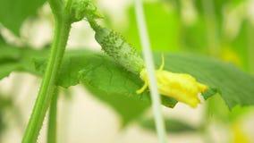 Close-up de uma videira de pepino pepino de floresc?ncia, 4k, close-up, lento-movimento video estoque