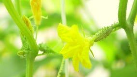 Close-up de uma videira de pepino pepino de floresc?ncia, 4k, close-up, lento-movimento vídeos de arquivo