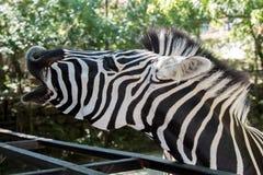 Close-up de uma zebra que descasca com boca aberta, gritando, SOS foto de stock