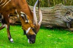 Close up de uns bongos orientais da montanha que pastam e que comem a grama, specie animal criticamente posto em perigo de ?frica fotografia de stock