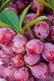 Close-up de uvas vermelhas maduras Fotos de Stock Royalty Free
