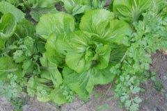 Close up de verdes de mostarda maduros fotografia de stock royalty free