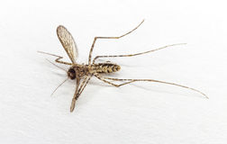 Close up dead body of mosquito Royalty Free Stock Photography