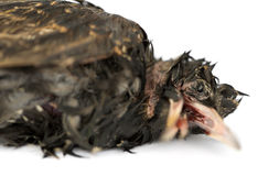 Close-up of a dead Common Starling in state of decomposition. Sturnus vulgaris, isolated on white Stock Image