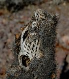 Close up of a dead, dried up, Perforated skeleton of a cholla jumping cactus in Arizona, USA. Stock Image