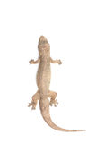 Close up dead of lizard isolated on white Stock Photos