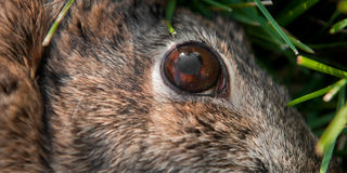 Close Up of Dead Rabbit's Eye (Leporida). Tight depth of field Stock Photos