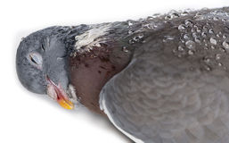 Close-up of a Dead Rock Pigeon, Columba livia Royalty Free Stock Photos