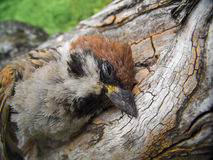 Close up of a dead sparrow. Lying on the tree Royalty Free Stock Photo