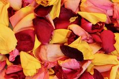 Close up of dead yellow and red rose petals in autumn sunshine. Scattered collection of recently dead yellow and red rose petals with a feeling of loss royalty free stock photos
