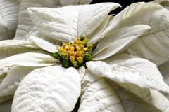 Close up of a White Poinsettia Blossom. Close up of December`s Birth-flower - a White Poinsettia Blossom Royalty Free Stock Photos