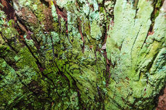 Close up on a decomposing tree bark covered by green moss royalty free stock photo