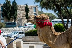 Decorated Camel in Jerusalem Israel stock photos