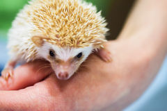Close-up of decorative african pygmy hedgehog on human hand. Concept environmental protection, ecology, contact zoos stock photography