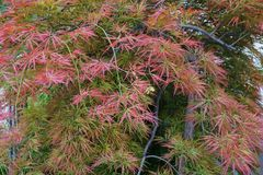 Close-up decorative Caucasian red maple Acer japonicum in the fo. Close-up decorative caucasian red maple Acer japonicum with branches and leaves growing in the Royalty Free Stock Photography