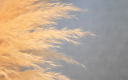 Close-up of decorative dry feather grass similar to stipa Stock Photography