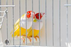 Decorative Erythrura gouldiae in a cage Royalty Free Stock Image