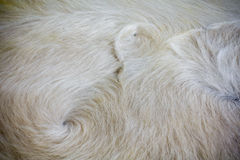 Close up Decorative fur carpet,  soft color of wool abstrace tex. Ture Stock Photography