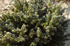 Close up of decorative pine. Branches covered with frost Stock Photos
