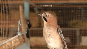 Close-up of decorative woodpecker in a cage. A variety of woodpeckers. Birds. Decorative birds stock video footage