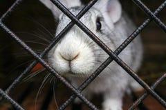 Close-up decorativo do coelho na gaiola na exploração agrícola animal O focinho está colando fora da gaiola Fotografia de Stock Royalty Free