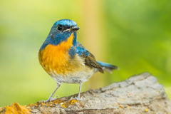 Close up of Deep blue of Chinese Blue Flycatcher Royalty Free Stock Image
