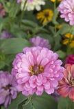 Close up Deep Pink chrysanthemum Stock Images