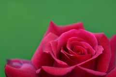 A close-up of deep pink rose. A close-up shot of a deep pink rose on a green background stock images