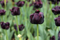 Close up of deep purple tulips flowers in the garden.  Stock Photos