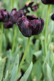 Close up of deep purple tulips flowers in the garden.  Stock Photography