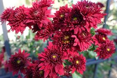 Closeup of deep red flowers of Chrysanthemum. Close up of deep red flowers of Chrysanthemum Royalty Free Stock Images