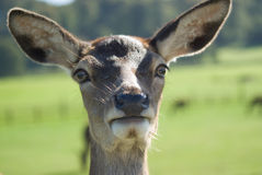 Close up Deer Stock Photos