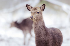 Close-up of deer. A portrait of a deer in the winter Stock Images