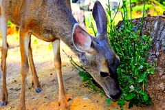 A close-up of a deer eating mistletoe. Deer up close eating mistletoe royalty free stock images