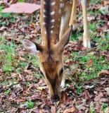 Eating deer Stock Photo