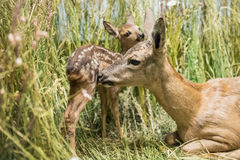 Close up of a deer family Stock Photo