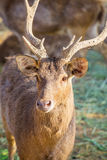 Close-up deer in the farm Royalty Free Stock Photos