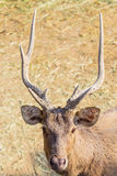 Close-up deer in the farm Stock Photos