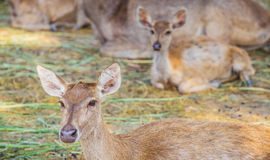Close-up deer in the farm Stock Photography