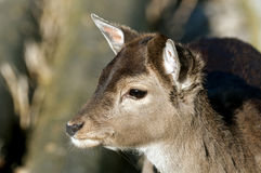 Deer fawn Stock Images
