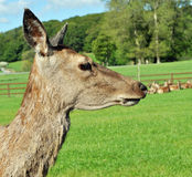Deer close up Stock Images