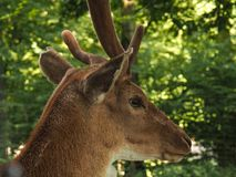 Close up of a deer. In a forest royalty free stock photography