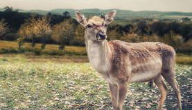 Close up on deer on the glade, autumn Royalty Free Stock Image