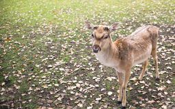 Close up on deer on the glade, autumn Royalty Free Stock Photos