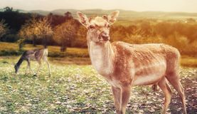 Close up on deer on the glade, autumn, sunrise Stock Photos