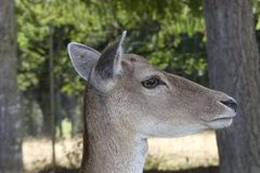 Close Up of deer head . royalty free stock photography
