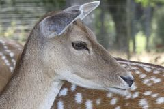 Close Up of deer head . stock images