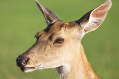 Close up deer portrait with green blurry background Royalty Free Stock Images